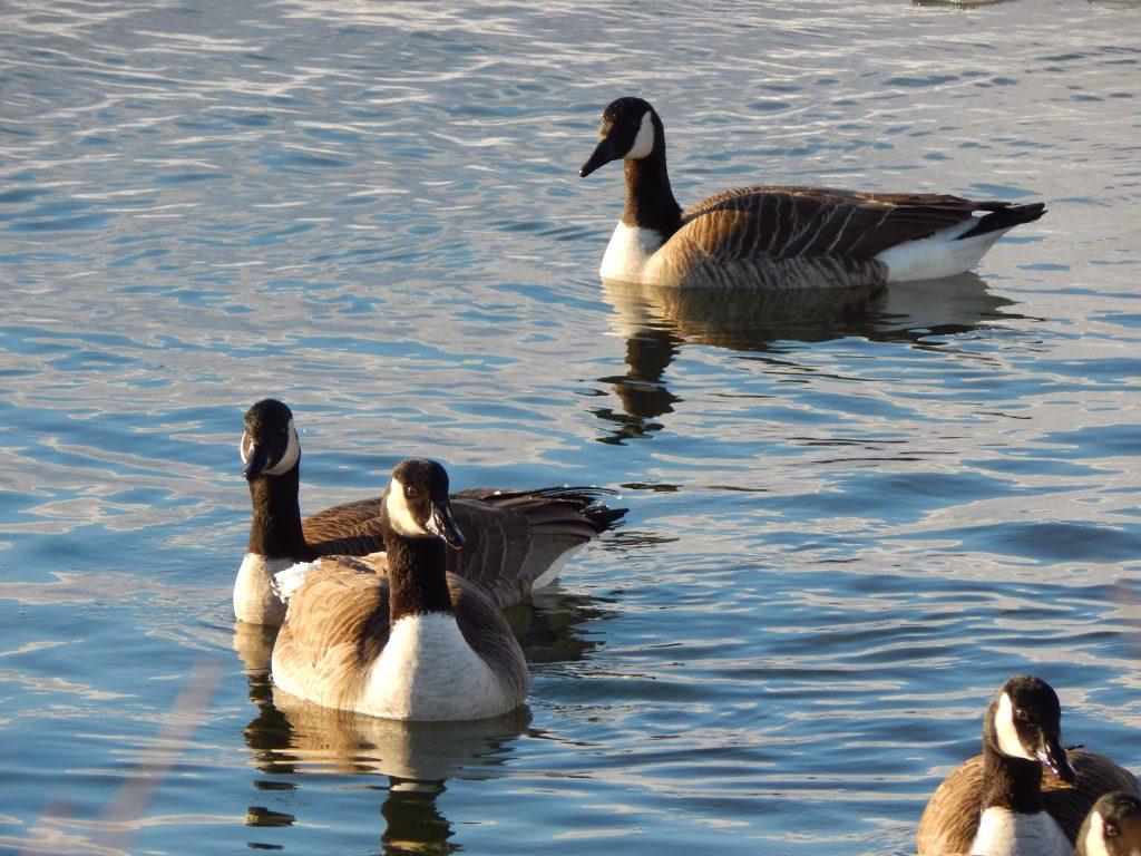 Canadian Geese at Canandaigua, NY