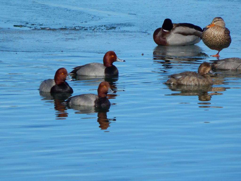 A Group of Redhead Ducks at City Pier