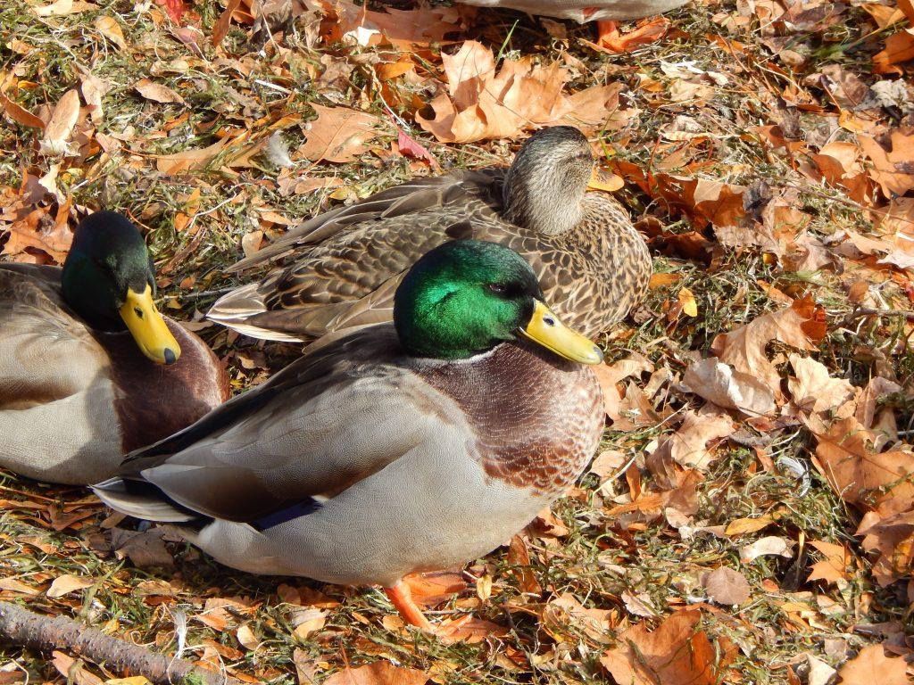 Malard Ducks Enjoying the Last of the October Sun