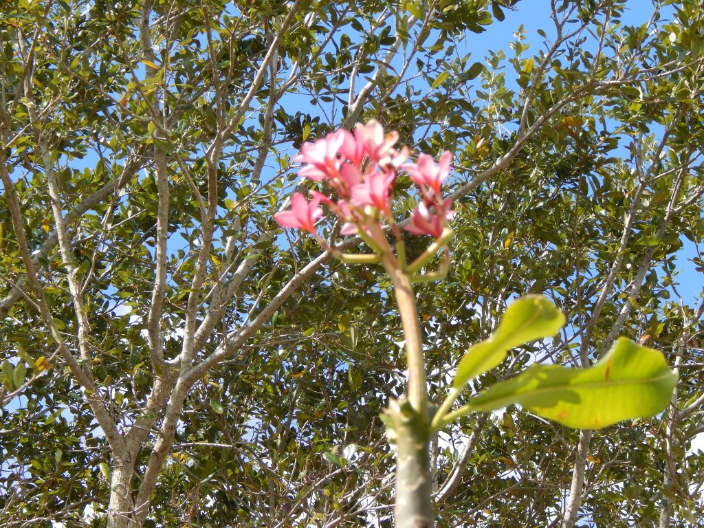 A Plumeria Tree