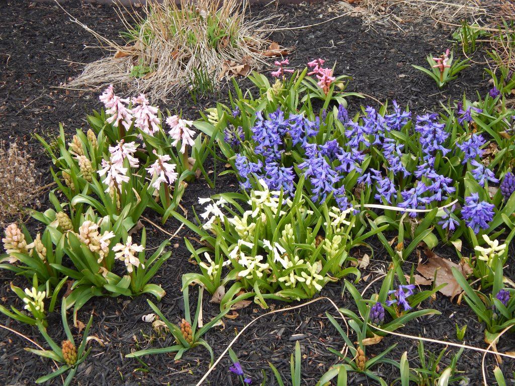 Hyacinths Starting to Bloom