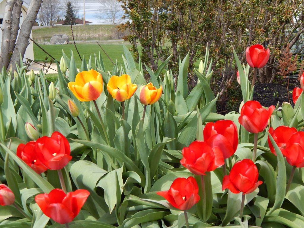 Tulips at Deep Run