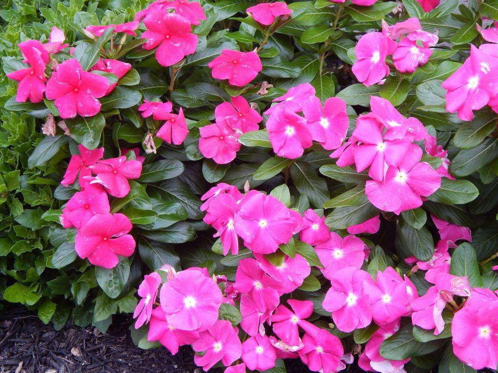 Vinca in Bloom