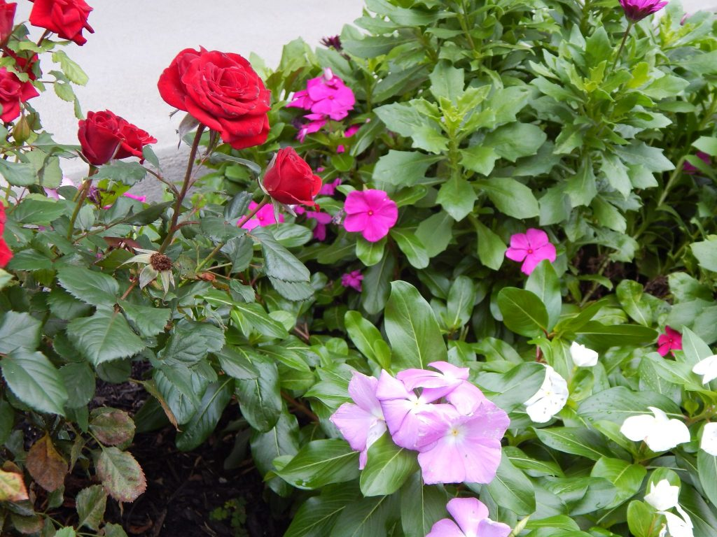 Everyone's Favorite - the Rose