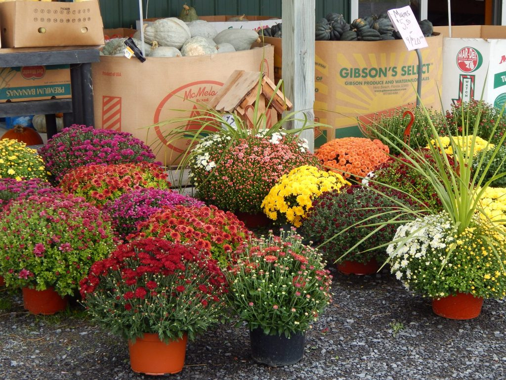 Mums At Tomions Farm Market