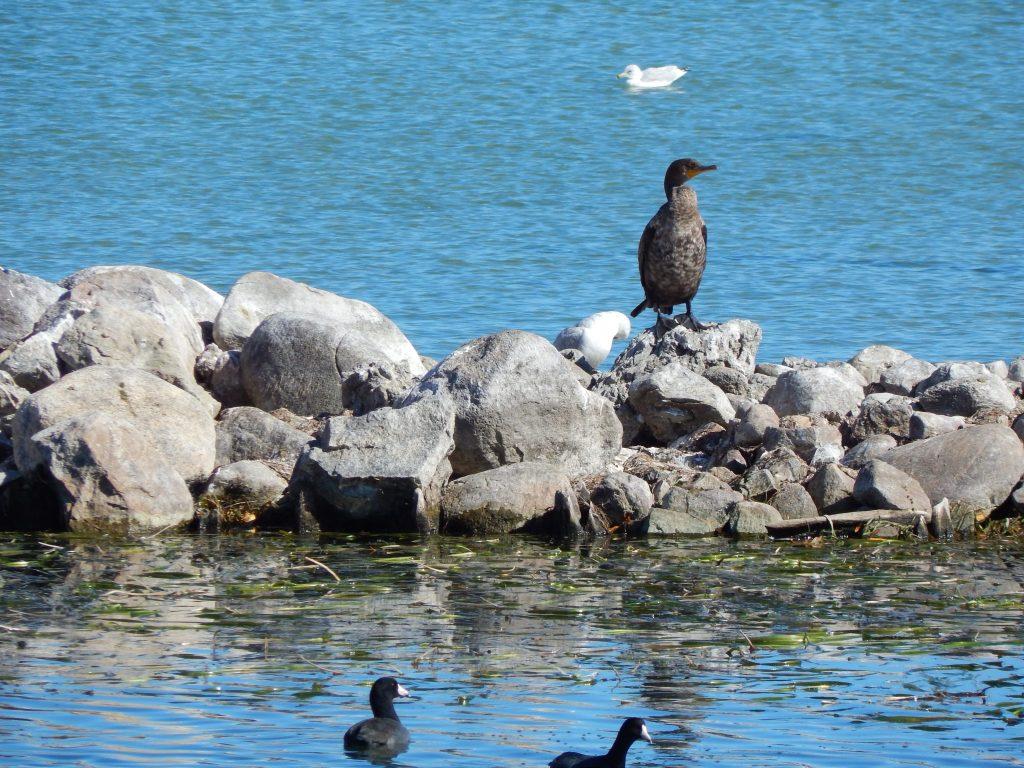 A Cormorant At City Pier