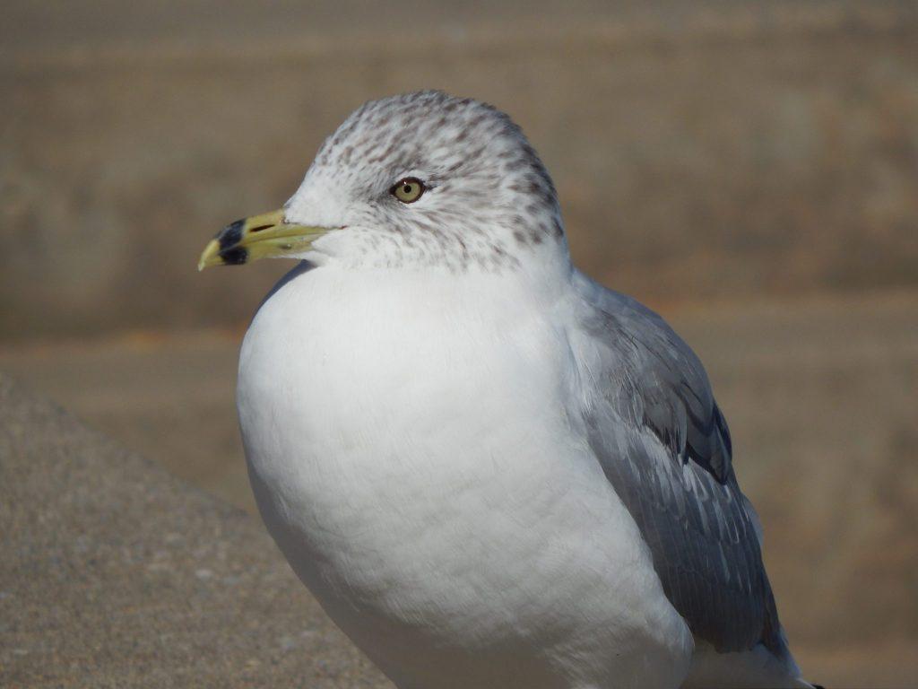 A Canandaigua Gull
