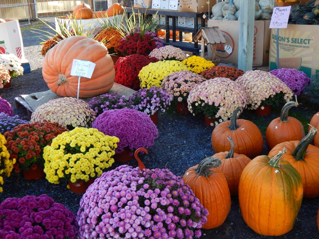 Fall Flowers and Pumpkins at Tomions Farm Market