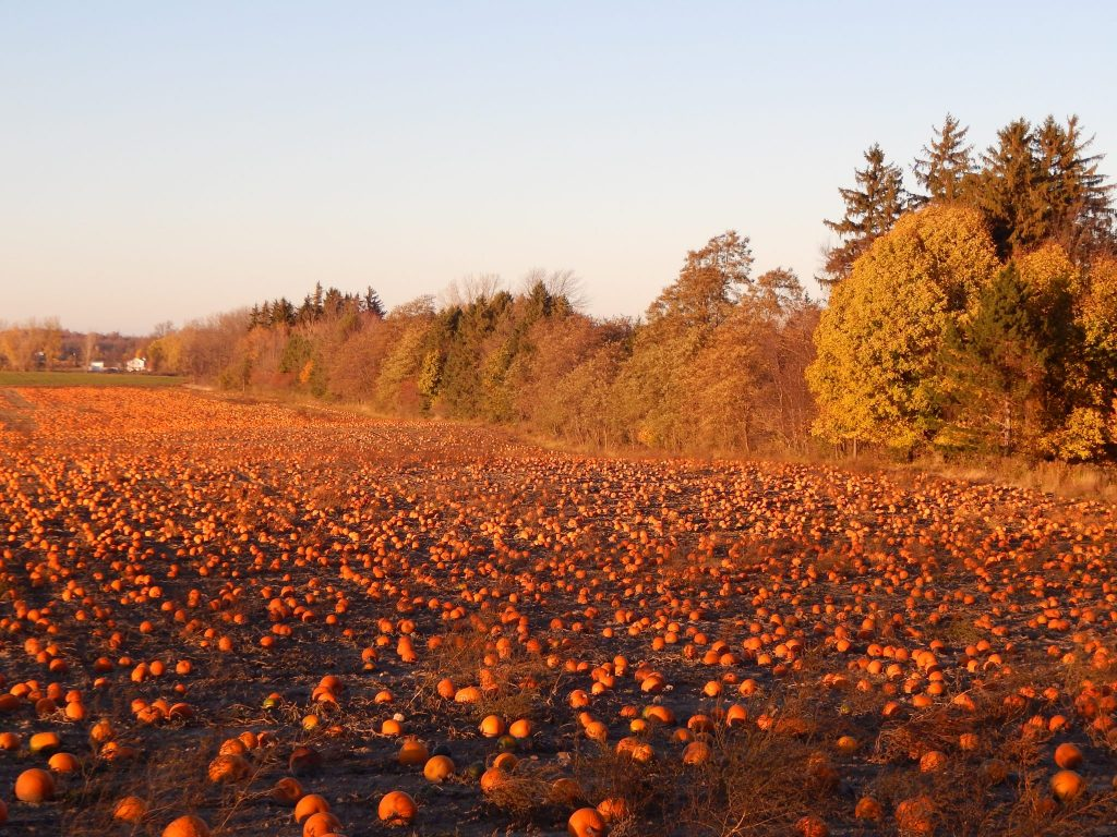 Left Over Pumpkins Near Geneva, NY