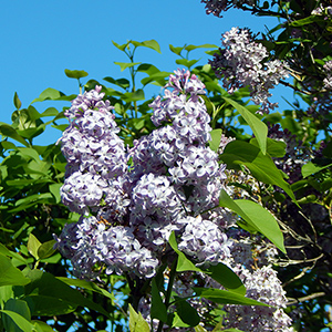 Lilacs at Deep Run